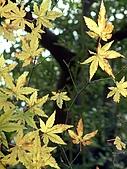 台灣原生楓樹:台灣掌葉槭071115-3.jpg