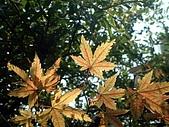 台灣原生楓樹:台灣掌葉槭071115-4.jpg