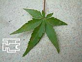 台灣原生楓樹:日本山槭.jpg