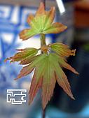 台灣原生楓樹:日本山槭芽吹.jpg