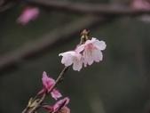 2017年天元宮櫻姿之美:20170205-IMG_3172-陳麗雲.jpg