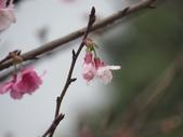 2017年天元宮櫻姿之美:20170205-IMG_3170-陳麗雲.jpg