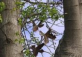 Tree:楓樹的新芽與枯葉