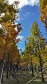 賞楓的另一個選擇;杉林溪 賞水杉:20161119_112409.jpg