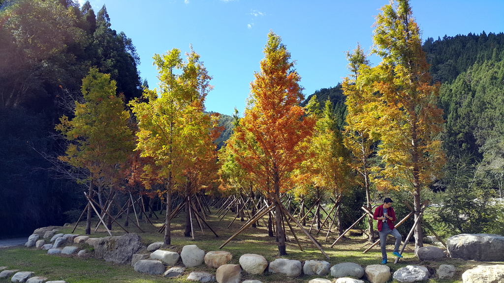 賞楓的另一個選擇;杉林溪 賞水杉:20161119_113148.jpg