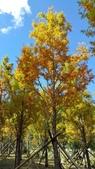賞楓的另一個選擇;杉林溪 賞水杉:20161119_112348.jpg