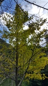 賞楓的另一個選擇;杉林溪 賞水杉:20161119_122721.jpg