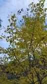 賞楓的另一個選擇;杉林溪 賞水杉:20161119_122851.jpg