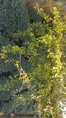 賞楓的另一個選擇;杉林溪 賞水杉:20161119_151516.jpg