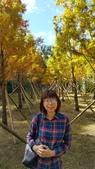 賞楓的另一個選擇;杉林溪 賞水杉:20161119_112756.jpg