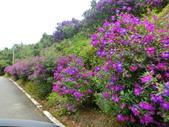 106.03.13春の拼圖:巴西野牡丹,五花瓣、花蕊具白色彎鉤,藍紫色艷麗高貴,有紫牡丹的別稱。