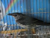 105.07.05(二)被迫的相遇:鳥店的人說你是野鳥!!好沒禮貌喔!
