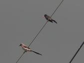 105.06.09 端午返鄉:樹鵲和紅嘴黑鵯