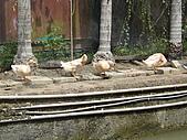 新竹縣南埔地區-麥客田園:養了幾隻鵝