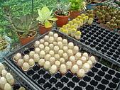 新竹縣 福祥仙人掌農園:數個顏色的小株仙人掌