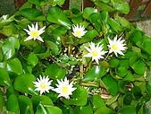 新竹縣南埔地區-麥客田園:純潔的小花