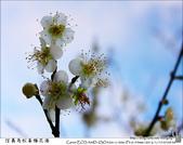 2012南投信義--烏松崙梅花海:烏松崙梅花