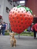 2008.2.9(初三)大湖採草莓:1943956028.jpg