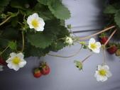 2008.2.9(初三)大湖採草莓:1943956041.jpg