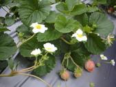 2008.2.9(初三)大湖採草莓:1943956042.jpg