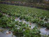 2008.2.9(初三)大湖採草莓:1943956044.jpg