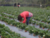 2008.2.9(初三)大湖採草莓:1943956047.jpg