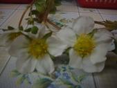 2008.2.9(初三)大湖採草莓:1943956052.jpg