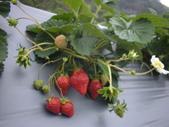 2008.2.9(初三)大湖採草莓:1943956002.jpg