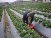 2008.2.9(初三)大湖採草莓:1943956003.jpg