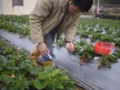 2008.2.9(初三)大湖採草莓:1943956007.jpg