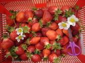 2008.2.9(初三)大湖採草莓:1943956022.jpg
