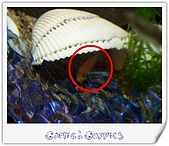 Guppies:(050124)Gloden Mouse2