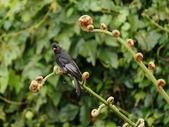 裝鳥:紅嘴黑鵯.jpg