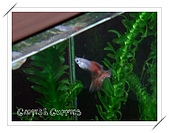 Guppies:(050115)Red