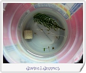 Guppies:(050121)Young Guppies