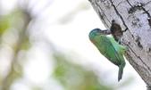 福志公園五色鳥:DSC_3954.jpg