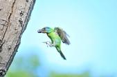 福志公園五色鳥:DSC_3995.jpg