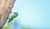福志公園五色鳥:DSC_39850.jpg