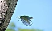 福志公園五色鳥:DSC_0748.jpg