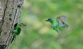 福志公園五色鳥:DSC_9163.jpg