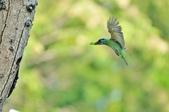 福志公園五色鳥:DSC_0139.jpg
