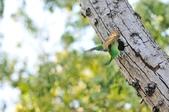 福志公園五色鳥:DSC_3421.jpg