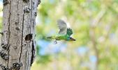 福志公園五色鳥:DSC_3619.jpg