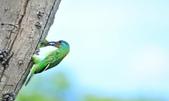 福志公園五色鳥:DSC_4044.jpg