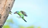 福志公園五色鳥:DSC_39840.jpg