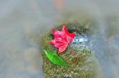 青春嶺(陽峰古道)楓紅~:_DSC9876.jpg