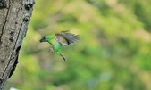 福志公園五色鳥:DSC_0128.jpg