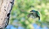 福志公園五色鳥:DSC_1027.jpg
