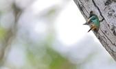 福志公園五色鳥:DSC_3924.jpg
