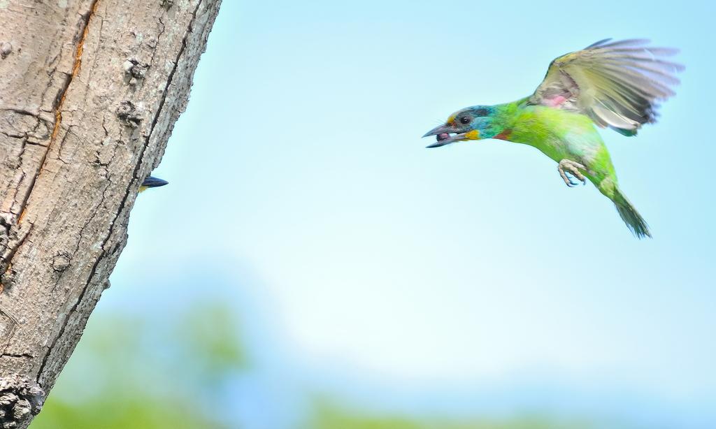福志公園五色鳥:DSC_4015.jpg